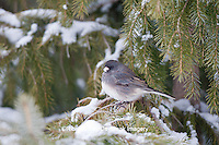 01569-01702 Dark-eyed Junco (Junco hyemalis) in spruce tree in winter, Marion Co., IL