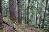 Silver Fir Forest; Abies amabilis; Nooksack R. Valley; near Hannagan Pass; WA, Mt. Baker-Snoqualmie National Forest