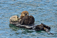 Southern Sea Otter mom with pup riding on her tummy and chest.  Central California.
