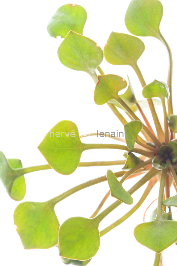 Claytone de Cuba, Claytonia perfoliata // Claytonia perfoliata or Miner's lettuce, Winter Purslane, Spring Beauty, Indian lettuce.
