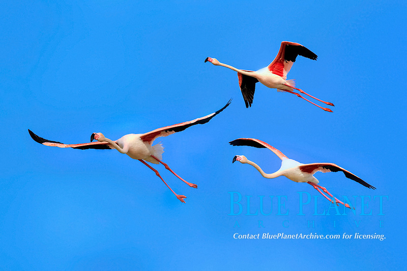 Greater Flamingos (Phoenicopterus ruber roseus), group, flying, Saintes-Maries-de-la-Mer, Camargue, France, Europe