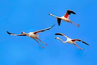 Greater Flamingos (Phoenicopterus ruber roseus), group, flying, Saintes-Maries-de-la-Mer, Camargue, France, Europe