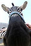A zebra waits in a pen during the International Camel Races in Virginia City, Nev., on Friday, Sept. 9, 2011. .Photo by Cathleen Allison