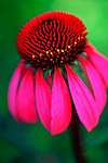 Trout Lake, WA<br /> Purple coneflower (Echinacea purpurea) organically cultivated
