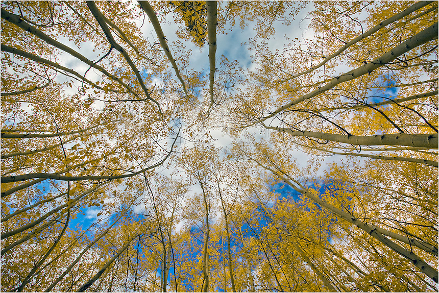 Here is a Colorado image of Aspen trees looking straight up on a crisp fall afternoon. Each fall, the aspen turn to orange and gold. When you see clumps of the orange aspen trees, those are actually families of trees connected by a root system.