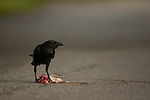 Fish Crow (Corvus ossifragus) feeding on road-killed rodent, Gloucester, Cape Ann, eastern Massachusetts