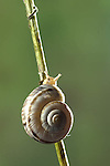 Heath snails, Xerolenta obvia