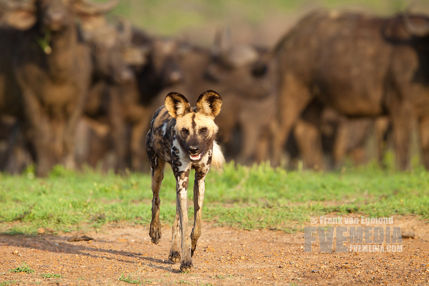 African Wild Dog (Lycaon pictus) with a herd of Buffalo in the background...Hluhluwe-Imfolozi Game Reserve, Kwazulu-Natal, South Africa. November 2010.