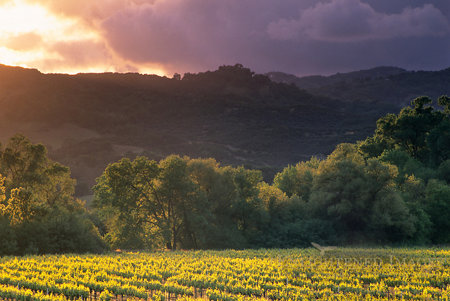 Stormy sunset over vineyards, East Side Road, near Hopland, Mendocino County, California