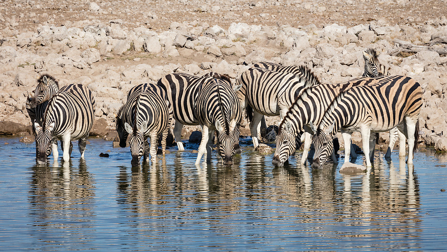 Adult Zebra And Two Foals Drink At A Waterhole.