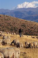 Europe/France/Languedoc-Roussillon/66/Pyrénées-Orientales/Brangoly: Vincent Grosfort (berger) et son troupeau de brebis