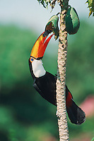 Toco Toucan (Ramphastos toco), adult eating mango fruit, Pantanal, Brazil, South America