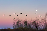 Sandhill cranes returning to roost at Crex Meadows in Wisconsin.