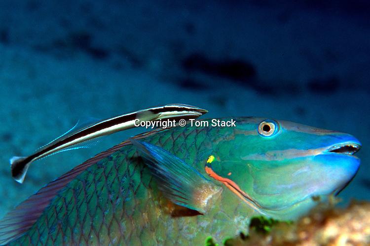 Remora on Stoplight Parrotfish, Florida Keys National Marine Sanctuary