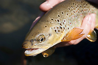 A brown trout caught on a scud pattern while fly fishing near Viroqua in Wisconsin's Driftless Area.