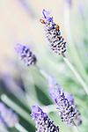 Ladybugs on lavender at Mt Tomah Botanical Gardens, Blue Mountains, Sydney, NSW, Australia