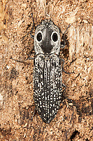 An Eyed Click Beetle (Alaus oculatus), a large (almost 2 inches long) and striking beetle with prominent false eye spots, clings to the side of a decaying tree stump, Ward Pound Ridge Reservation, Cross River, Westchester County, New York