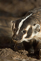 607520011 a wild american badger taxidea taxus displays a muddy face after drinking from a small pond in the hill country of central texas