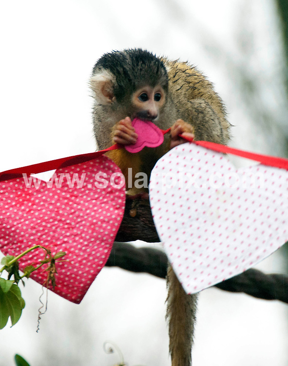 "**ALL ROUND PICTURES FROM SOLARPIX.COM**                                             **NO UK NEWSPAPER PUBLICATION**.**UK MAGAZINE & SUPPLEMENT PUBLICATION ONLY** AND NO PUBLICATION IN AUSTRALIA, BELGIUM, FRANCE, GERMANY, ITALY, SCANDINAVIA AND USA**                                                                                  Caption: Love came in the form of heart shaped bunting for London Zoo's Bolivian squirrel monkeys today. Zookeepers gave the inquisitive primates bunting covered with honey as an early Valentines Day present. .A lot of monkey business has resulted in the troop of 18 nearly doubling in number over the past few years, with the addition of five babies last year. Zookeeper Kate Sanders said: ""They enjoyed investigating the bunting but they were definitely more interested in their honey."".She added: ""They may be Bolivian squirrel monkeys but they breed like rabbits - so hopefully we could be expecting the pitta patter of more tiny monkey feet very soon."" ZSL London Zoo, London, UK. 10 February 2011..This pic:  Squirrel Monkeys                                                                                             JOB REF: 12776 SFE       DATE: 10_02_2011                                                           **MUST CREDIT SOLARPIX.COM OR DOUBLE FEE WILL BE CHARGED**                                                                      **MUST AGREE FEE BEFORE ONLINE USAGE**                               **CALL US ON: +34 952 811 768 or LOW RATE FROM UK 0844 617 7637**"