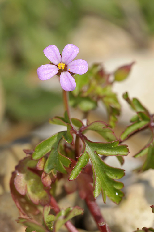 LITTLE ROBIN Geranium purpureum (Geraniaceae) Height to 30cm. Similar to Herb-Robert but overall more slender and straggly. Restricted to dry banks and coastal shingle. FLOWERS are 7-14mm across with pink petals and yellow pollen (Apr-Sep). FRUITS are distinctly wrinkled. LEAVES are hairy and deeply cut into 3 or 5 pinnately divided lobes. STATUS-Local in SW England, S Wales and S Ireland.