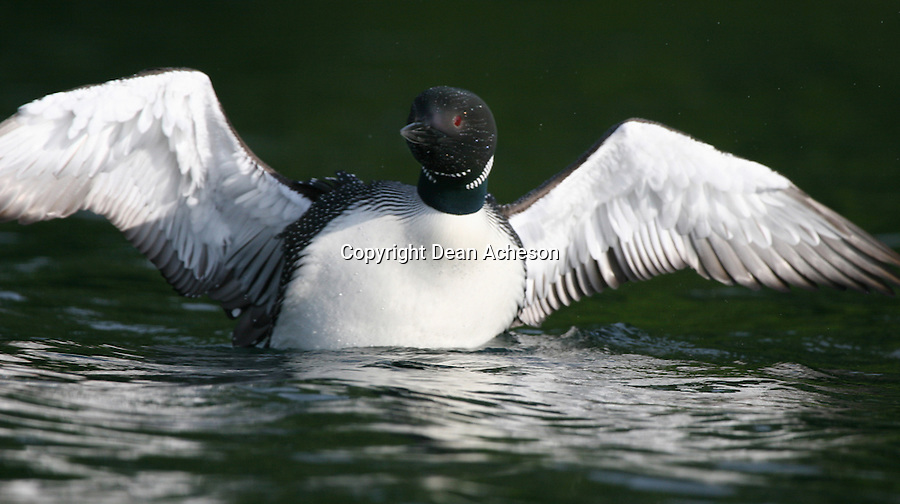 A common loon spreads its wings and catches the morning sun on a lake in northern Wisconsin.