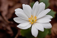 Bloodroot growing wild in the Ozark National Forest in Arkansas.