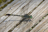 Unicorn Clubtail (Arigomphus villosipes) Dragonfly - Male, Ward Pound Ridge Reservation, Cross River, New York