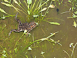 Female Yosemite toad, Bufo canorus, swimming in shallow water in a high elevation meadow in California's Sierra Nevada mountains. Also in the water are tadpoles of the same species. Once widespread in the high Sierra, since the 1980s Yosemite toads have disappeared or severely declined in over 50% of their former range, and now survive only in a handful of wet meadows. The toad is listed as a Species of Special Concern under the Federal Endangered Species Act as well as by the State of California, and is listed as Endangered by the IUCN.