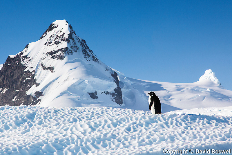 An Adelie penguin gets some sun on a small iceberg in Cierva Cove on the Antarctic Peninsula.