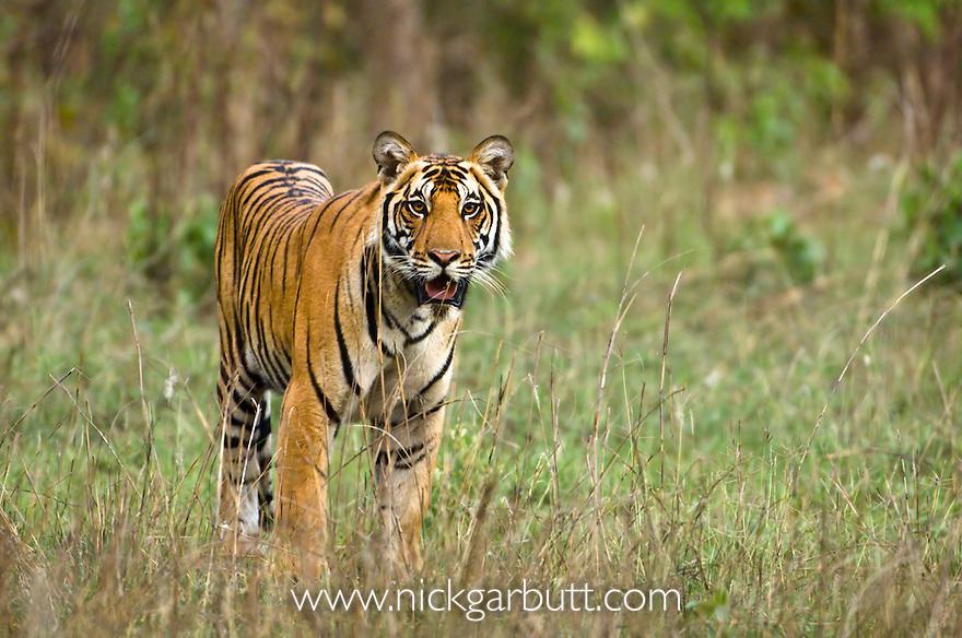 Male Bengal Tiger (Panthera tigris tigris) walking through meadow (patrolling territory). Bandhavgarh National Park, Madhya Pradesh, India. Adolescent cub