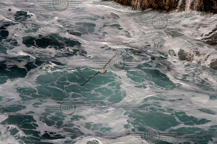 A fulmar flies above the foaming sea near Ness on the Isle of Lewis. Harris and Lewis are part of the same land mass in the Outer Hebrides of Scotland.