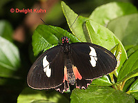 LE45-551z  Transandean Cattleheart  Swallowtail, female, Parides iphidamas, Central America