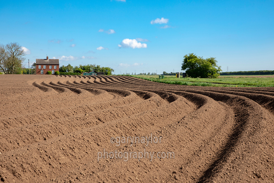 Potato ridges - Lincolnshire, April