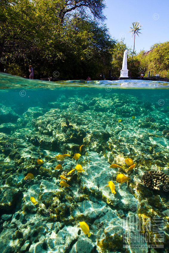 A school of yellow tang feeding in the waters near visitors walking around the Captain Cook Monument, Kealakekua Bay, Big Island