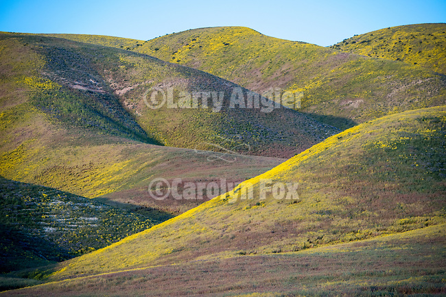 Wildflower-covered Temblor Range at sundown, California Valley, Calif.