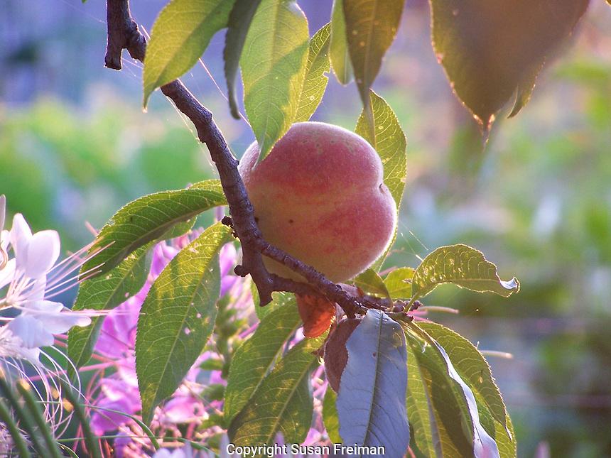 Peach at sunrise, July, Joan Gussow's garden