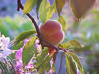 Peach at sunrise, July, Joan Gussow's garden