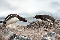 Gentoo Penguin building a nest