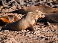 Australian fur seal (Arctocephalus pusillus doriferus) juvenile with monofilament entanglement causing painful wound. Kanowna Island, Bass Strait, Australia
