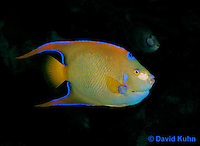 0119-08vv  Juvenile Queen Angelfish - Holacanthus ciliaris © David Kuhn © David Kuhn/Dwight Kuhn Photography
