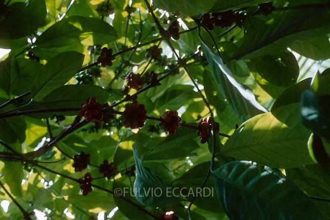 Tanzania, Zanzibar, coffee, coffea, arabica, cherries, beans, unripe, plantation, plant, tree, bush, foliage, green, red, grow, organic, unpicked