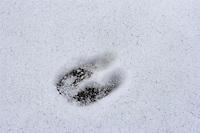 Rothirsch, Rotwild, Rot-Hirsch, Rot-Wild, Trittsiegel im Schnee, Fußspur, Cervus elaphus, Red Deer, Cerf élaphe