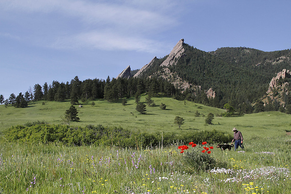 Caucasian man walking his dog among the wildflowers and Flatirons rock formation in Chautauqua Park, Boulder, Colorado. .  John leads private photo tours in Boulder and throughout Colorado. Year-round.