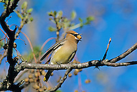 Cedar Waxwing, Bombycilla cedrorum,adult on Chinaberry Tree (Melia azedarach), New Braunfels, Texas, USA, March 2001