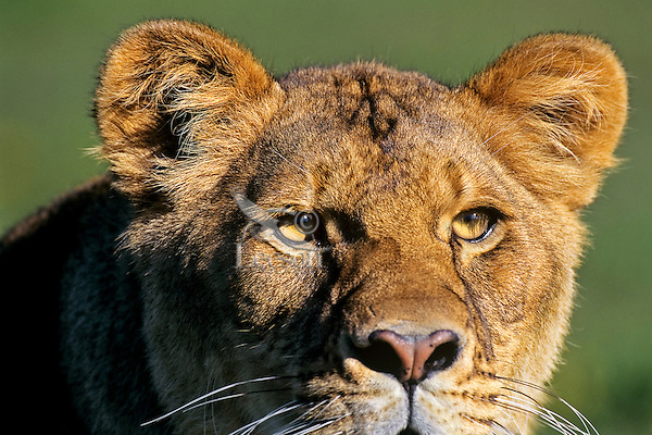 African lioness or female african lion (Panthera leo) staring.