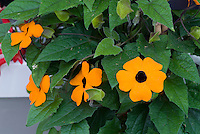 Thunbergia alata Orange Glo, annual climbing vine with bright blooms
