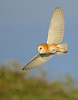 A barn owl hunts at the edge of a meadow just before sunset.<br /> Skagit County, Washington State<br /> 8/16/2015<br /> <br /> Naturescapes.net Editors Pick<br /> 8/20/2015