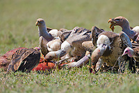 Vultures on kill, Serengeti National Park, Tanzania, East Africa