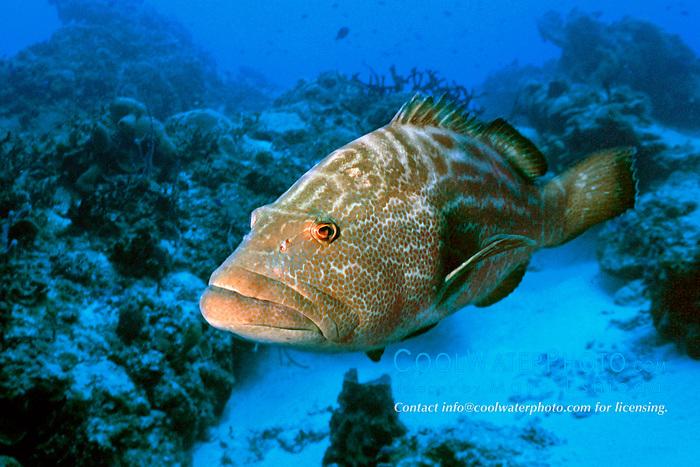 black grouper, .Mycteroperca bonaci, .Paso del Cedral, .Cozumel, Mexico (Caribbean).
