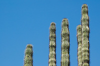 Organ pipe cactus, Cereus thurberi. Organ Pipe Cactus National Monument, Arizona.